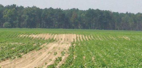 Nematode damage in field