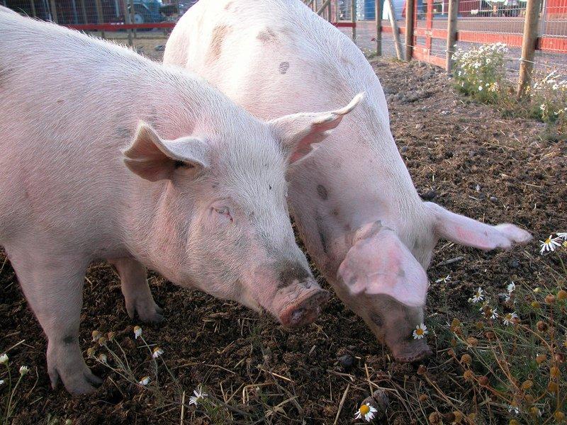 Farm Hog Farm Raising a Few Hogs to